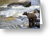 U.s. National Forest Greeting Cards - Grizzly Bear Ursus Arctos Horribilis Greeting Card by Matthias Breiter