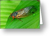 Cicada Greeting Cards - 17 Year Periodical Cicada Greeting Card by Douglas Barnett