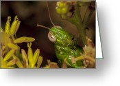 Green Grass Hopper Greeting Cards - 1722 Green Locus Greeting Card by Dennis Hofelich