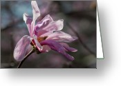 Flower Blossom Greeting Cards - Magnolia Blossom Greeting Card by Robert Ullmann
