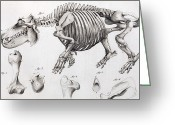 Mega Greeting Cards - 1812 Hippopotamus Skeleton By Cuvier Greeting Card by Paul D Stewart