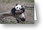 Disbelief Greeting Cards - A Baby Panda Plays On A Branch Greeting Card by Taylor S. Kennedy