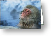Hot Springs Greeting Cards - A Japanese Macaque, Or Snow Monkey Greeting Card by Tim Laman
