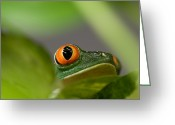 Red Eyed Leaf Frog Greeting Cards - A Red-eyed Tree Frog Agalychnis Greeting Card by Joel Sartore
