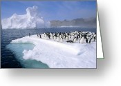 Ice-floe Greeting Cards - Adelie Penguin Pygoscelis Adeliae Group Greeting Card by Tui De Roy