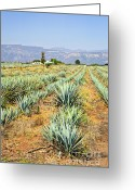 Cacti Greeting Cards - Agave cactus field in Mexico Greeting Card by Elena Elisseeva