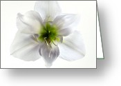 Seasonal Greeting Cards - Amaryllis Greeting Card by Jane Rix