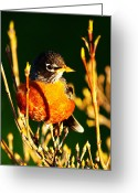 Birdwatcher Greeting Cards - American Robin Greeting Card by Mingqi Ge