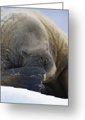 Walruses Greeting Cards - An Atlantic Walrus Odobenus Rosmarus Greeting Card by Paul Nicklen