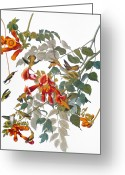Artcom Greeting Cards - Audubon: Hummingbird Greeting Card by Granger