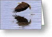 Kitsap Peninsula Greeting Cards - Bald Eagle flying Greeting Card by Ed Book