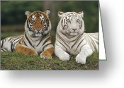 Looking At Camera Greeting Cards - Bengal Tiger Panthera Tigris Tigris Greeting Card by Konrad Wothe