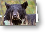 Feeding Digital Art Greeting Cards - Black Bear along British Columbia highway Greeting Card by Mark Duffy
