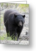 Hibernation Greeting Cards - Black Bear at One Mile Lake Pemberton Greeting Card by Pierre Leclerc