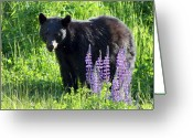 Lupines Greeting Cards - Black Bear in the lupines Whistler Canada Greeting Card by Pierre Leclerc