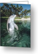 Bottle-nosed Dolphin Greeting Cards - Bottlenose Dolphin Portrait Hawaii Greeting Card by Flip Nicklin