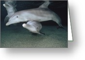 Bottle-nosed Dolphin Greeting Cards - Bottlenose Dolphin Underwater Trio Greeting Card by Flip Nicklin