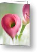 Vases Greeting Cards - Calla Lily (zantedeschia Aethiopica) Greeting Card by Maria Mosolova