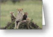 Acinonyx Greeting Cards - Cheetah Acinonyx Jubatus Mother Greeting Card by Suzi Eszterhas
