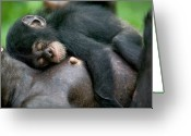 Chimpanzee Greeting Cards - Chimpanzee Pan Troglodytes Adult Female Greeting Card by Cyril Ruoso