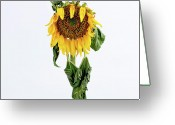 Lives Greeting Cards - Close up of sunflower. Greeting Card by Bernard Jaubert