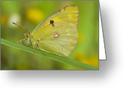 Antenna Greeting Cards - Clouded Yellow Greeting Card by Andre Goncalves