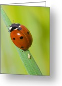 Antenna Greeting Cards - Coccinella  septempunctata Greeting Card by Andre Goncalves