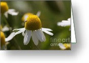 Summers Greeting Cards - Daisy Greeting Card by Carol Lynch