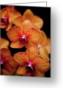 Orange Flower Photo Greeting Cards - Deep Cut Orchid Society 15th Annual Orchid Show Greeting Card by Dan Pfeffer