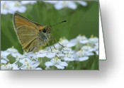 Dion Skipper Greeting Cards - Dion Skipper yarrow blossoms Greeting Card by Michael Peychich