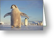 Large Group Greeting Cards - Emperor Penguin Aptenodytes Forsteri Greeting Card by Tui De Roy