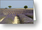 Lavender Greeting Cards - Field of lavender. Provence Greeting Card by Bernard Jaubert