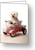 Bichon Greeting Cards - Fifi loves her rocket car Greeting Card by Michael Ledray