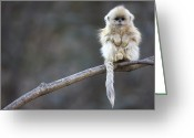 Primates Greeting Cards - Golden Snub-nosed Monkey Rhinopithecus Greeting Card by Cyril Ruoso