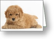 Cross Breed Greeting Cards - Goldendoodle Puppies Greeting Card by Mark Taylor
