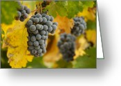 Ripened Fruit Greeting Cards - Grapes and Vines Greeting Card by Andy Dean