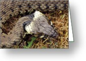 Snake Scales Greeting Cards - Grass Snake Greeting Card by Colin Varndell