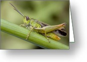 Antenna Greeting Cards - Grasshopper Greeting Card by Andre Goncalves