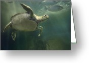 Common Green Turtle Greeting Cards - Green Sea Turtle Chelonia Mydas Greeting Card by Tim Fitzharris