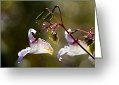 Impatiens Flowers Greeting Cards - Himalayan Balsam (impatiens Glandulifera) Greeting Card by Dr Keith Wheeler