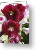 Althea Greeting Cards - Hollyhock (alcea Rosea) Greeting Card by Dr Keith Wheeler