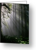 Forest Floor Photo Greeting Cards - In the California Redwood forest. Greeting Card by Ulrich Burkhalter
