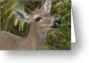 Virginia Pyrography Greeting Cards - Key Deer Florida Greeting Card by Valia Bradshaw