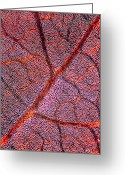 Indian Ink Greeting Cards - Leaf Anatomy, Light Micrograph Greeting Card by Dr Keith Wheeler