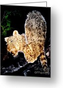 Photographs Drawings Greeting Cards - Leopard at Night Greeting Card by Sylvie Heasman