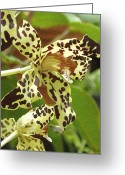 Leopard Greeting Cards - Leopard Orchids Greeting Card by Ellen Henneke