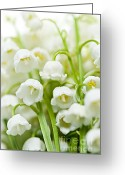 Fragrant Greeting Cards - Lily-of-the-valley flowers Greeting Card by Elena Elisseeva