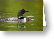 Protective Mother Greeting Cards - Loon and Chick Greeting Card by Brandon Broderick