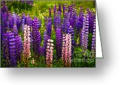 Flora Greeting Cards - Lupin flowers in Newfoundland Greeting Card by Elena Elisseeva