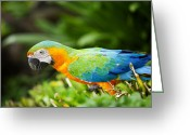 Ara Ararauna Greeting Cards - Macaw Greeting Card by Anek Suwannaphoom